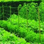 Bean and Pea Netting